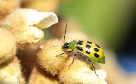 wp green lady bug
